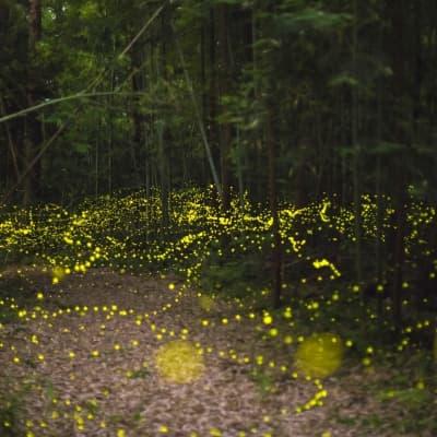 Croisière d'observation des lucioles à Kuala Selangor