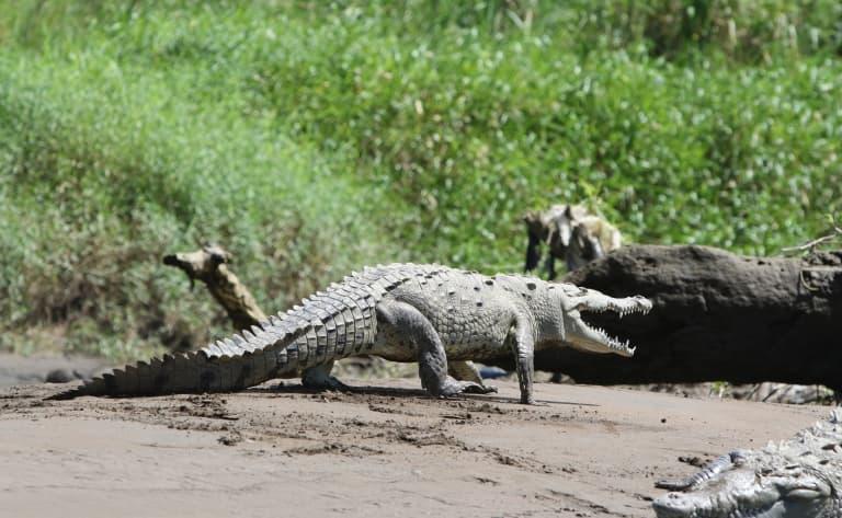 Attention ! Crocodiles !