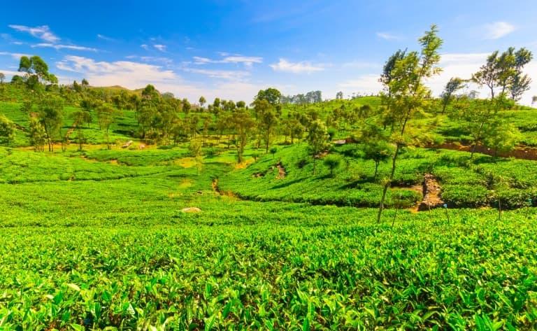 Trek au pays du thé